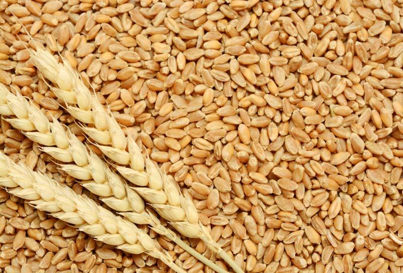 El grano de trigo: características generales y algunas problemáticas y  soluciones a su almacenamiento - TSIA