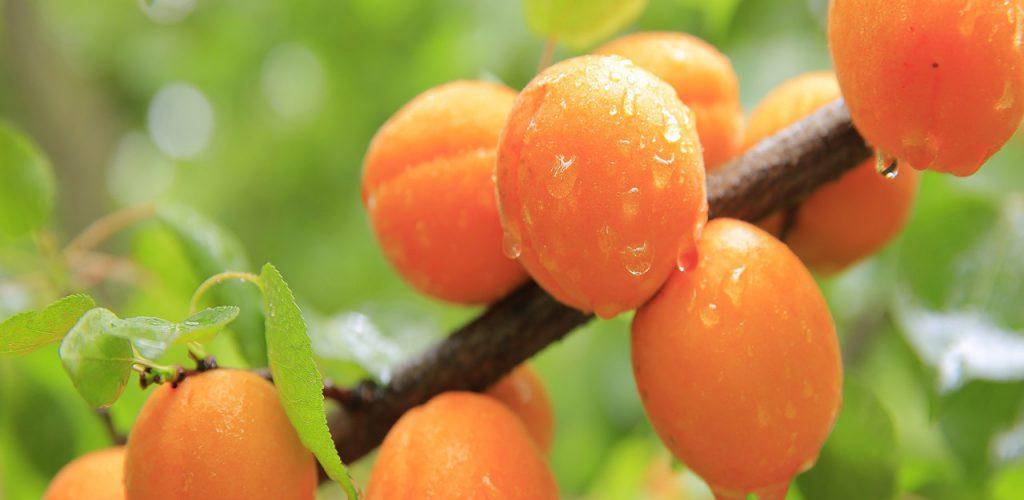Inactivación de esporas de Aspergilli con radiación UVC y sorbato de potasio en néctar de durazno
